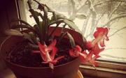 Péče o vánoční kaktus