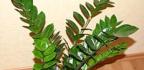 Je rostlinazamioculcas jedovatá