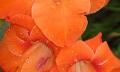 Gladioly